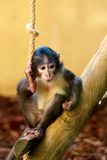 Small monkey Stock Photography