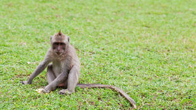 Small monkey Royalty Free Stock Photography
