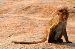 Small monkey Stock Photos