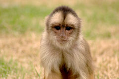 Small Monkey. A close up of a small monkey on the grass Royalty Free Stock Image