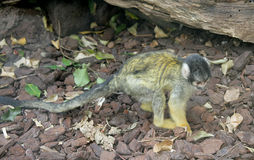 Small monkey 4 Stock Images