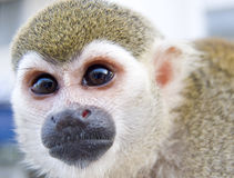 Small monkey Royalty Free Stock Photos