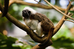 Small Monkey. Small playful monkey in Montreal Biodome Stock Photography