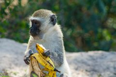 Small monkey in Africa wild nature eat banana. African wildlife primate animal stock images