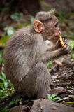 Small monkey eating food in bamboo forest. India Stock Photos