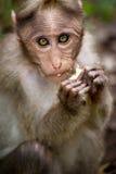 Small monkey eating Royalty Free Stock Image