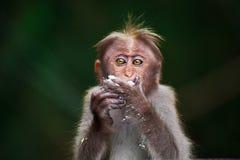 Small monkey eating Stock Image