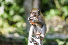 Small monkey eating fruit, Krabi, Thailand. Small monkey eating fruit, Krabi, Thailand Royalty Free Stock Photo
