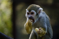 Small monkey eating fruit. Small monkey eating a piece of cut apple Royalty Free Stock Images