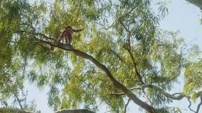 Small monkey eats leaves on branch of big tree on Rock of Gibraltar in sunlight. Little monkey eating leaves on branch of large tree on rock of Gibraltar in stock video footage