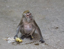 Small monkey with fruits. Small grey monkey is sitting on the floor with a bag with fruits in her hand Royalty Free Stock Photos