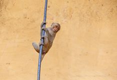 Small monkey hanging on rode Royalty Free Stock Images
