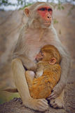 Small monkey and his mother Stock Photos