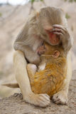 Small monkey and his mother Stock Images