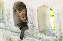 Small monkey in hole Stock Photography
