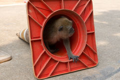 Small monkey looking out of a traffic cone Stock Photos
