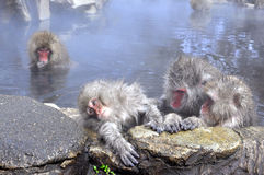 A small monkey pampered by its concerned parent. The picture shows a few monkey taking hot bath in a hot spring pond during winter. A young monkey is being Royalty Free Stock Image