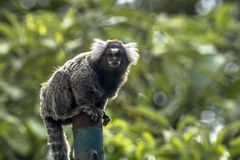 Sagui. Small monkey popularly known as White-Tailed Sagittarius, Callithrix jacchus, in an area of Atlantic Forest in the neighborhood of Intrerlagos,  south of Royalty Free Stock Photo