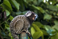 Sagui. Small monkey popularly known as White-Tailed Sagittarius, Callithrix jacchus, in an area of Atlantic Forest in the neighborhood of Intrerlagos,  south of Royalty Free Stock Photography