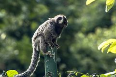 Sagui. Small monkey popularly known as White-Tailed Sagittarius, Callithrix jacchus, in an area of Atlantic Forest in the neighborhood of Intrerlagos,  south of Royalty Free Stock Photos
