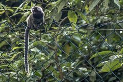 Sagui. Small monkey popularly known as White-Tailed Sagittarius, Callithrix jacchus, in an area of Atlantic Forest in the neighborhood of Intrerlagos,  south of Stock Images
