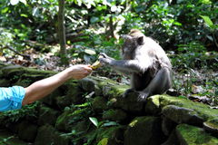 Small monkey receiving tasty banana. Picture for traveling advertising, sharing food, wildlife Stock Image