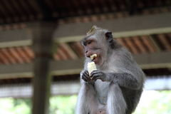 Small monkey receiving tasty banana. Picture for traveling advertising, sharing food, wildlife Royalty Free Stock Photo