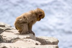 Small Monkey Searching royalty free stock photography