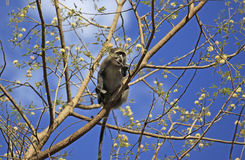 Small Monkey, Selous Game Reserve, Tanzania Royalty Free Stock Photography