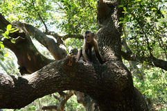 A small monkey sits on a tree. In a natural habitat Royalty Free Stock Photos