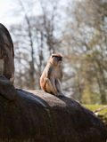 Small Monkey Sitting on Rock Royalty Free Stock Photography