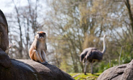 Small Monkey Sitting on Rock with Ostrich Royalty Free Stock Image