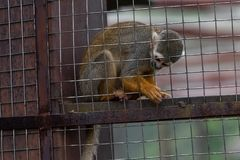 Squirrel monkey-Saimiri sciureus. It is a small monkey in South America. It is easy to domesticate and breed. It is gradually becoming a pet animal. The body is royalty free stock image