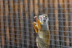 Squirrel monkey-Saimiri sciureus. It is a small monkey in South America. It is easy to domesticate and breed. It is gradually becoming a pet animal. The body is stock images