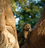Small monkey Royalty Free Stock Images