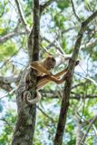 Small Monkey on tree in Amazon Forest Royalty Free Stock Photos