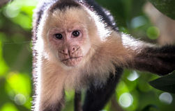 Small Monkey. Monkey in the trees of a Costa Rican jungle Royalty Free Stock Photography