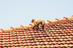 Small monkey walking on a roof of a house.  Stock Photos