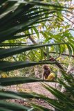 Small monkey with yellow coconut sitting in green palm forest royalty free stock images
