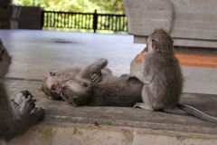 Small monkeys. A group of small monkeys lying on the floor Royalty Free Stock Photos
