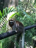 Small monkeys in the rain forest Cartagena Columbia stock image