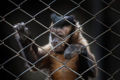 Small monkeys were kept in a cage in zoo Royalty Free Stock Photos