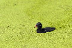 Small Moorhen Stock Images