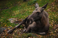 Small moose lying on the ground Royalty Free Stock Photography