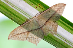 A small moth Stock Photography