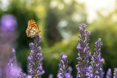 Small mother-of-pearl butterfly on summery lavender. Small mother-of-pearl butterfly sits on the top of a lavender plant stock photos