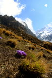 Small mountain flower. Annapurna base camp prey flags nepal Stock Photography