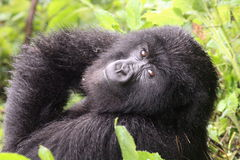 Small Mountain Gorilla. Taken in Rwanda volcanoes gorilla park during the rain in october