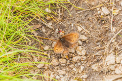 Small Mountain Ringlet, Mountain Ringlet (Erebia epiphron) Royalty Free Stock Images