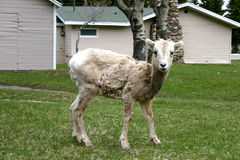 Small Mountain Sheep. A small mountain sheep within a town Stock Photography
